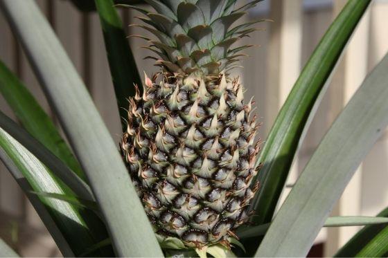 Ananasplant luchtzuiverende plant tegen snurken