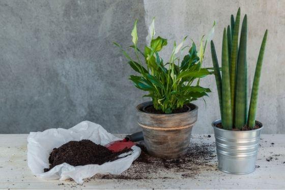 Spathiphyllum en lepelplant