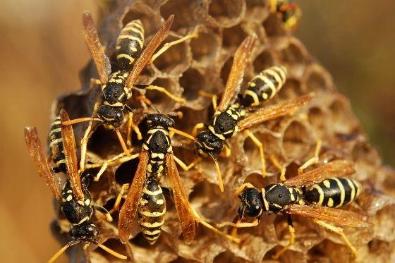 Weg met de wespenoverlast- wespennest verwijderen